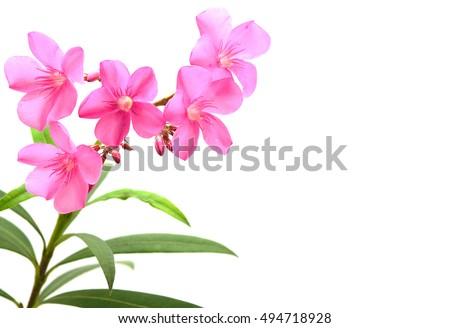 Pink oleander flower Stock photo © cla78