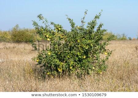 フルーツ · パイ · 草 · 自然 · 夏 · 緑 - ストックフォト © Paha_L