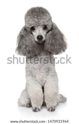 Cute poedel portret witte studio schoonheid Stockfoto © vauvau