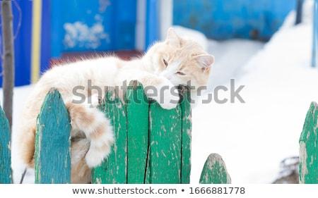 cute cat lying in the hedge Stock photo © meinzahn