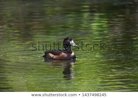 Pato estanque masculina agua verano negro Foto stock © taviphoto