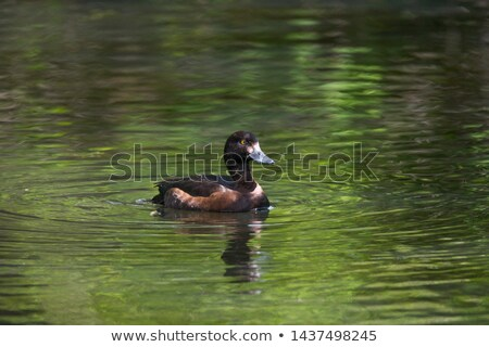 tufted duck on pond Stock photo © taviphoto