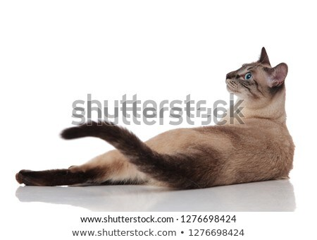 rear view of burmese cat lying and looking to side Stock photo © feedough