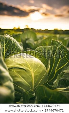 Agriculture, cabbage field Stock photo © simazoran