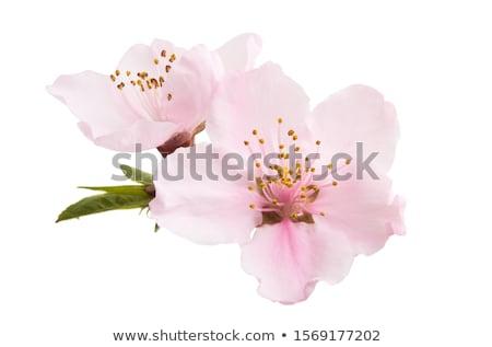cereja · flores · florescimento · primavera · céu - foto stock © mariematata