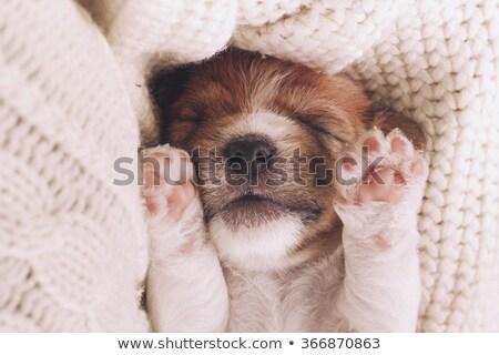 щенков собака животного играть посмотреть Сток-фото © c-foto