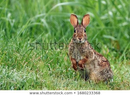 Rabino sessão grama olhando coelho animal Foto stock © brm1949