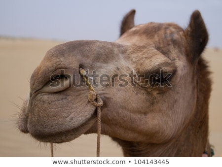 Camel face with rein Stock photo © phakimata
