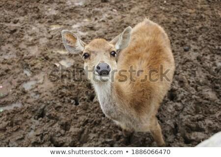 Brown Deer Stock photo © rghenry