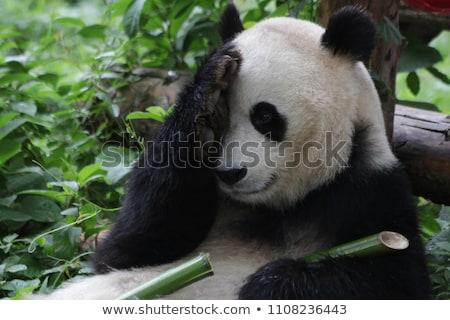 Engraçado panda ilustração palma selva asiático Foto stock © adrenalina