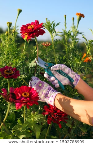 hands of gardener cutting red peonies Stock photo © ssuaphoto