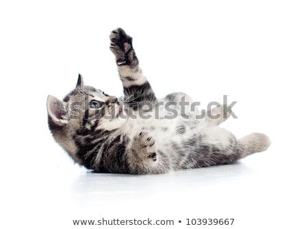 británico · pelo · corto · gato · retrato · pelo · cabeza - foto stock © feedough