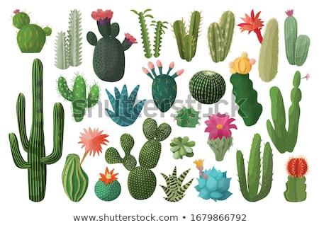 Cacti Stock photo © boggy