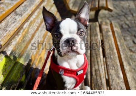 preto · e · branco · Boston · terrier · vermelho · bebê - foto stock © lopolo