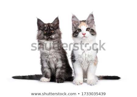 Stock photo: Litter of black and white Maine Coon kittens on white