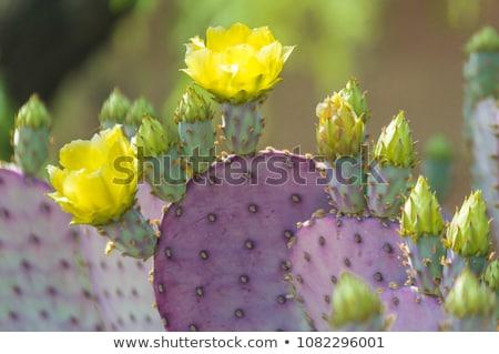 Arizona Prickly Pear Cactus Stock photo © diomedes66