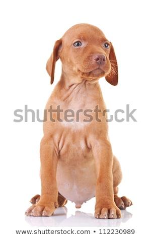 ülő magyar kutyakölyök kutya másfelé néz kamera Stock fotó © feedough