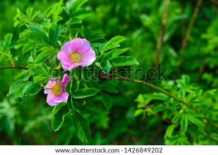 Wild rose Stock photo © digoarpi