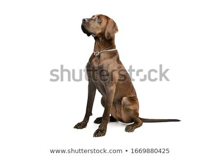 grande · perro · cute · saludable · retrato · primer · plano - foto stock © taden