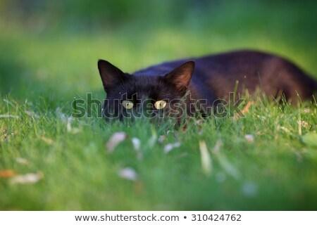 Сток-фото: кошки · охота · саду · лице · трава · глазах