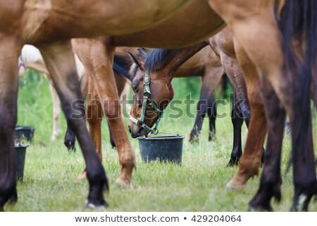 Brown horse feeding outdoors Stock photo © amok