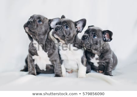 French Bulldog puppy lying  Stock photo © OleksandrO