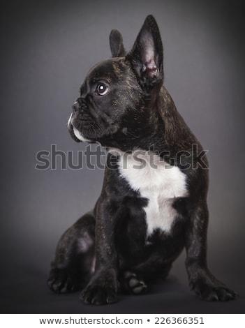 dog pppy french bulldog stock photo © oleksandro