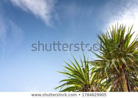 Stock fotó: Kókusz · pálmafák · növekvő · égbolt · trópusi · sziget · Thaiföld