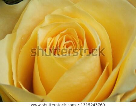 close up of yellow rose Stock photo © artfotoss