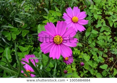 紫色 · ピンク · デイジーチェーン · 花 · 咲く - ストックフォト © tang90246