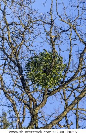 Foto stock: Mistletoe On Tree Under Blue Sky