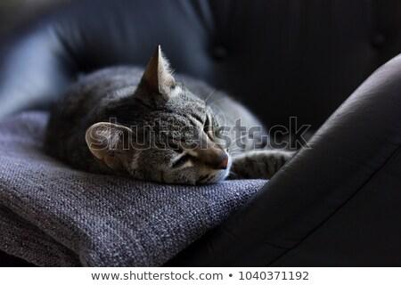 Szőrös macska alszik szék portré vicces Stock fotó © galitskaya