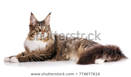Stock photo: Maine Coon cat / kitten