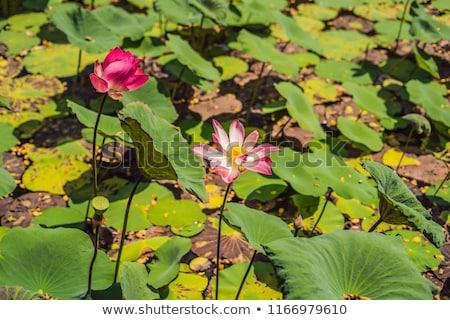 Pink lotus flower in lotus lake under the scorching sun Stock photo © galitskaya