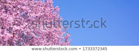 virágzó · gyümölcs · fák · tavasz · park · tájkép - stock fotó © anna_om