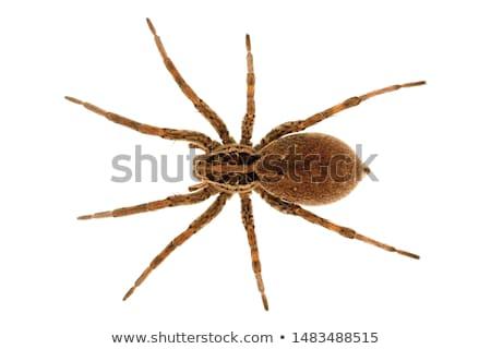Kahverengi örümcek ahşap yüzey bacaklar top Stok fotoğraf © pzaxe