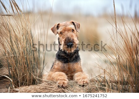Airedale terrier dog stock photo © eriklam