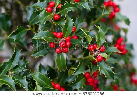 holly hedge background Stock photo © Snapshot
