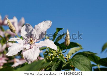 Purple clematis flowers against a blue sky stock photo © sarahdoow