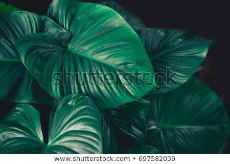Levél árnyék nagy zöld levél természet fotó Stock fotó © Juhku
