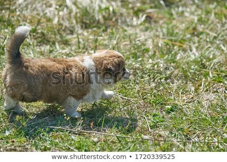 мало щенков зеленый маленькая комнатная собачка изолированный портрет Сток-фото © ivonnewierink