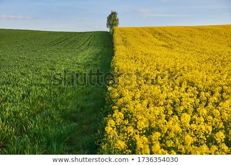 tarwe · velden · blauwe · hemel · voorjaar · landbouw · groene - stockfoto © simazoran