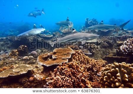 sualtı · fotoğrafları · köpekbalığı · grup · deniz · balık - stok fotoğraf © Yongkiet