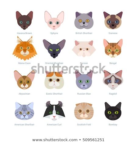 青 白 メイン州 猫 黒 愛らしい ストックフォト © CatchyImages