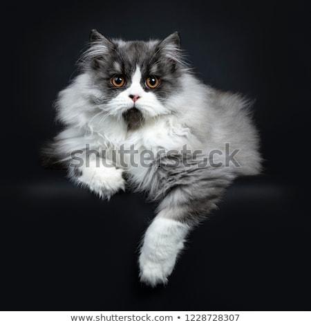 Majestic black smoke British Longhair cat Stock photo © CatchyImages