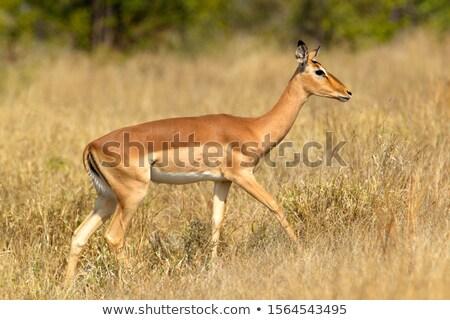 Female impala (Aepiceros melampus) Stock photo © ajlber