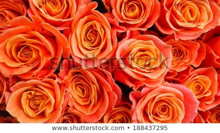 narancs · rózsák · virágcsokor · gyönyörű · stúdiófelvétel · levél - stock fotó © ElinaManninen