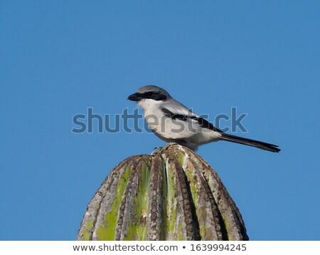 Loggerhead Shrike (Lanius ludovicianus) Stock photo © raptorcaptor