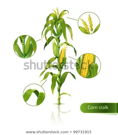 Corn stalk blossom Stock photo © stoonn