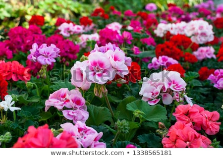 Geranium Stock photo © digoarpi